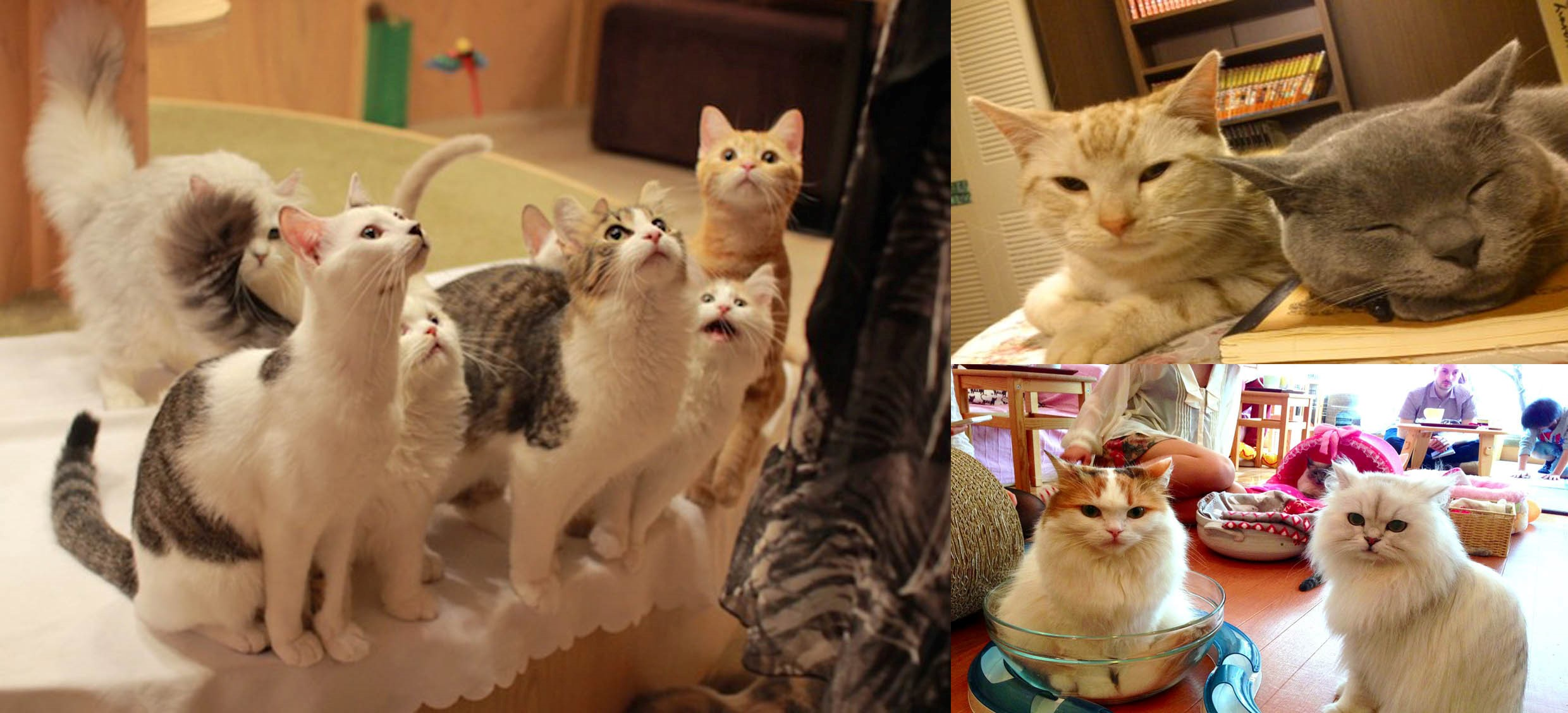Aisc Japan One Stop Transfer Tokyo City To Cat Cafe