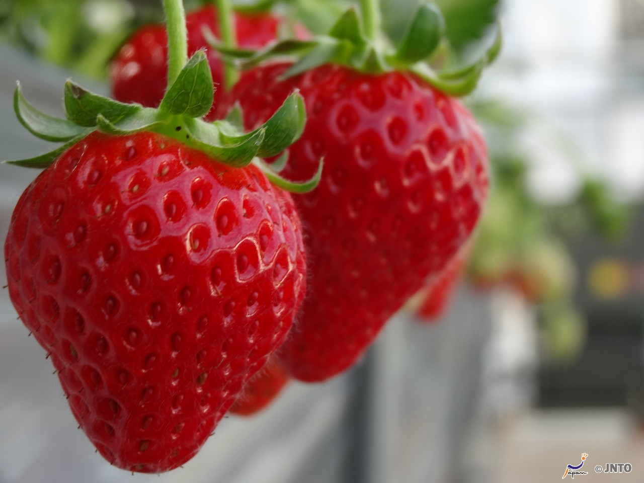 (1) Fuji's Best Cherry Blossom Spots Tour plus All-you-can-eat Strawberry Picking   (2) Fuji Shibazakura & Tulip Flower Festival plus All-you-can-eat Strawberry Picking