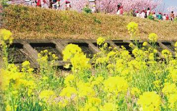 Early-blooming Cherry Blossom, Play in the Snow at Mt. Fuji & Strawberry Picking [From Tokyo]