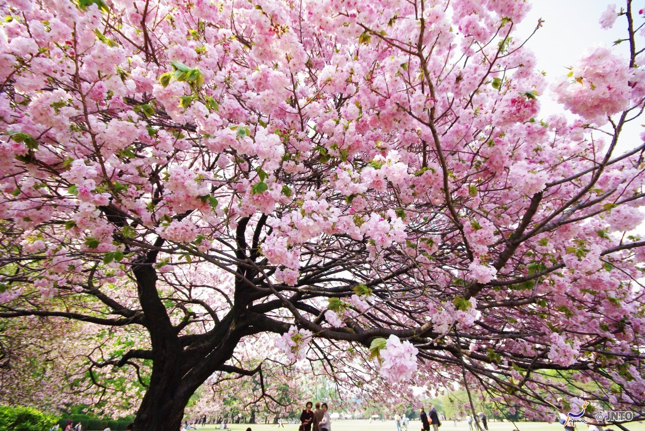 [By Bus] 1Day. Kyoto. Yoshinoyama Cherry Blossom. Lunch *ALInoBABY