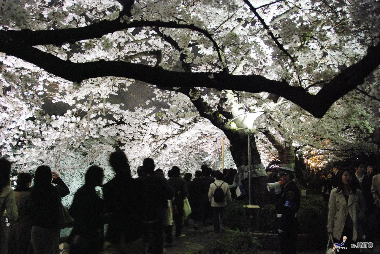 Tokyo NIGHT SAKURA Viewing Tour at Ueno Park *ALInoBABY