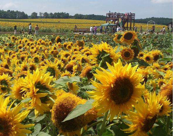 Hokkaido Chuo Bus - Hokuryu Sunflower, Farm Tomita and Biei Tour