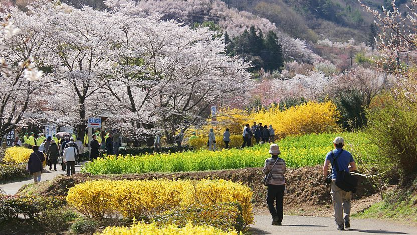 Hanamiyama Park with Round Trip Cherry Tomato SIC Door to Door Transfer (Duration: approx. 03-04Hrs) **ALInoBABY**